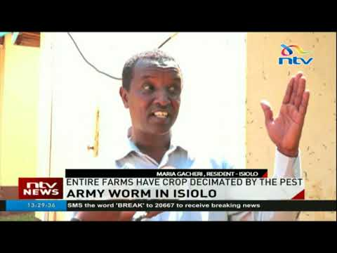 Army worm invades farms and offices in Isiolo county