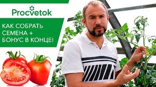 Кусочек ВАТЫ сохранит ваш сорт! Как СОБРАТЬ СЕМЕНА помидоров правильно.