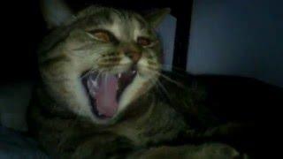 Кошка слушает гимн России