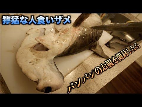 獰猛な人食いザメ'シュモクザメ'のパンパンのお腹を切ったら嫌なものがドロっと出てきた!!