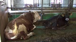 """La vraie """"vie"""" des cochons, poules, et vaches de Suisse"""