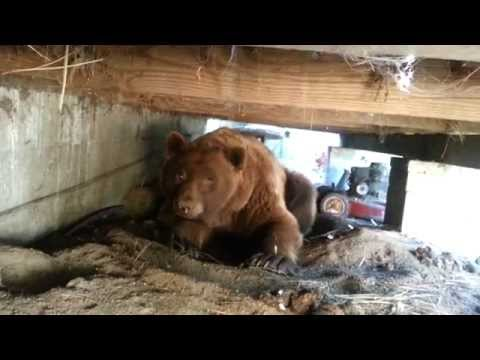 Big Ass Brown Bear