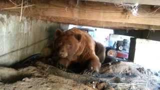 BIG ASS BLACK BEAR UP CLOSE AND PERSONAL........