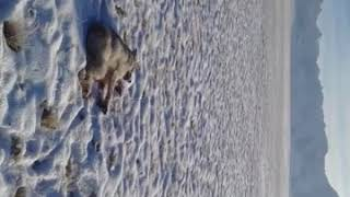 Охота на волков.В Ат Башы долина Арпа(1)