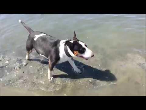 Miniatur Bull Terrier Bulli läuft durch das Wasser