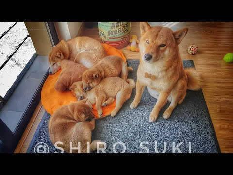 My life is potato. Ep 18 / Shiba Inu puppies