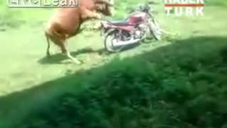 Trying to ride a motorcycle cow