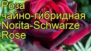 Роза чайно-гибридная Норита Шварц. Краткий обзор, описание характеристик Norita-Schwarze Rose