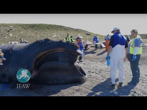 The Dwindling Right Whale Population Causes Concern