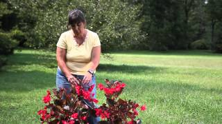 How to Identify a Begonia : Begonias