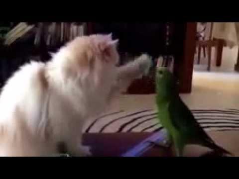 Коту от попугая нет покоя. Прикол.