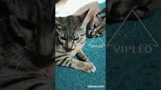 VIPLEO®. Каракал и кошка - дружба.