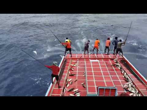 Tuna Fishing Using Pole And Line Method