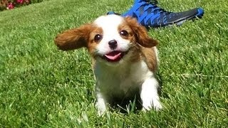 ''kelton'' -- Male Akc Cavalier King Charles Spaniel Puppy Playing In San Diego, Ca