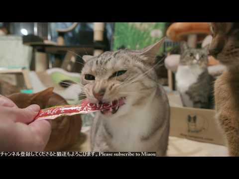 2018.5.14 ちゅーる   Cats & Kittens room 【Miaou みゃう】