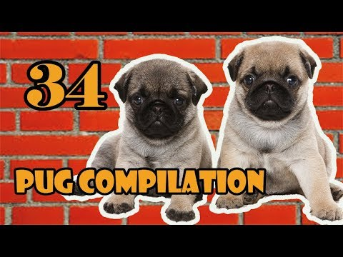 Pug Compilation 34 - Funny Dogs but only Pug Videos | Instapugs
