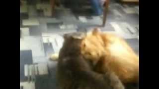 дурные коты.mp4