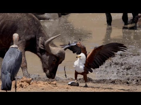 eagle-fends-off-pair-of-storks-and-buffalo