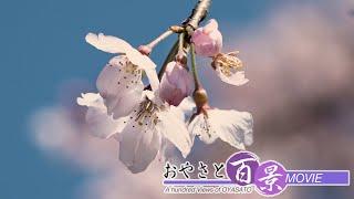第75回「春の声-シダレザクラ-」