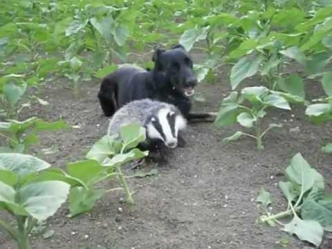 feroce tasso attacca cane