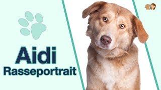 Aidi im Rasseportrait: Ist diese Hunderasse als Wachhund geeignet?