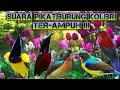 Suara Paling Ampuh Pikat Segala Jenis Burung Kolibri  Mp3 - Mp4 Download