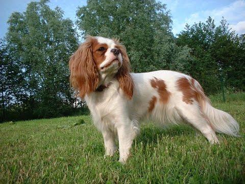 Английский Фоксхаунд/English Foxhound (порода собак HD slide show)!