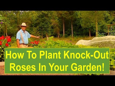 Plant Knock Out Roses In Your Flower