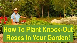 Tips and Ideas on How-to Plant Knock-Out Roses in Your Flower Garden