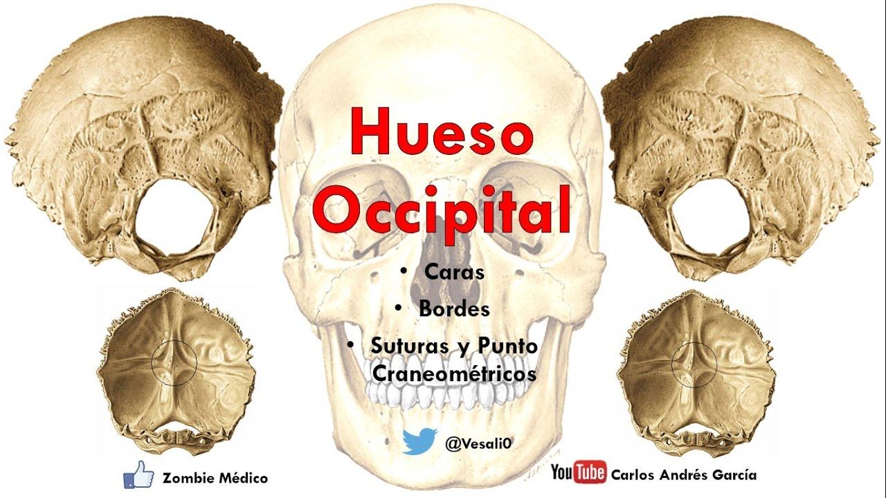Anatomía- Hueso Occipital (Caras, Bordes, Inserciones, Senos Durales ...