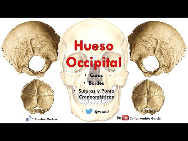 Anatomía- Hueso Occipital (Caras, Bordes, Inserciones, Senos Durales)
