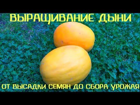 Как вырастить дыню в Беларуси. От посадки семян до сбора урожая. Лучший сорт!