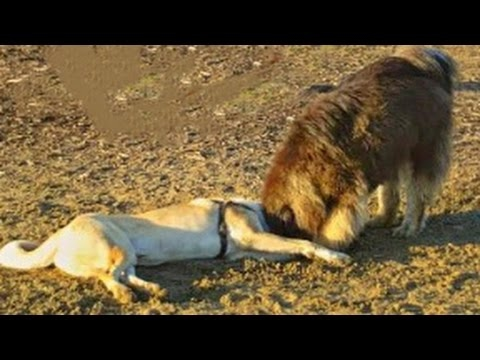 Tibetan Mastiff vs Kangal - Super Giants