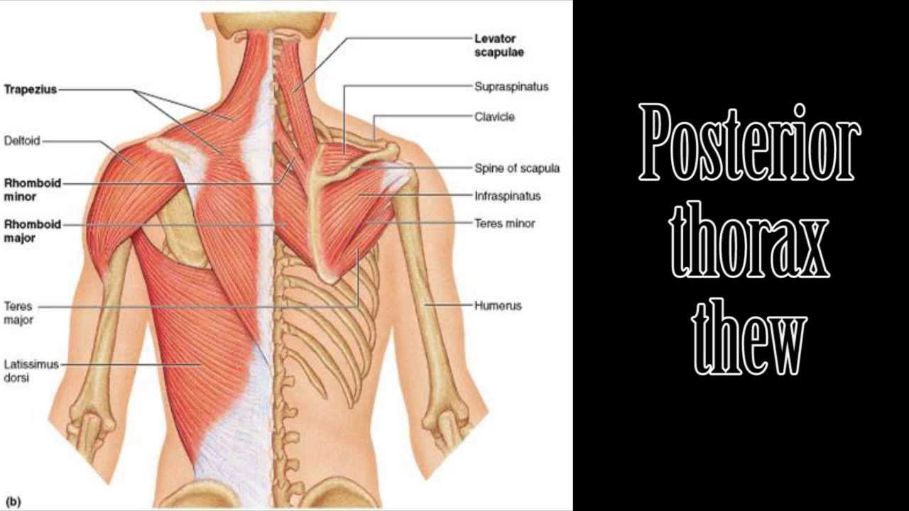 medium resolution of thorax and shoulder muscles song parody