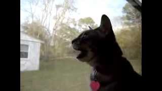 Как говорят коты с другой планеты