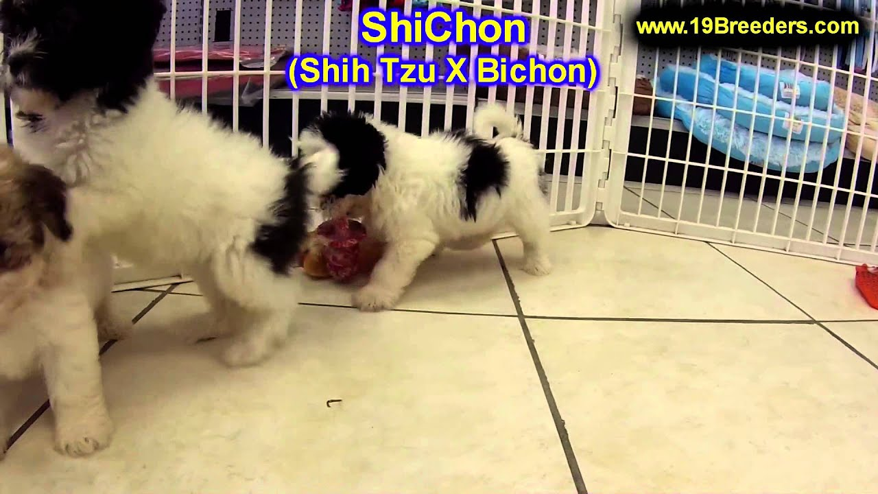 Shichon puppies for sale in indiana - Shichon Puppies For Sale In Duluth Minnesota County Mn Hennepin Dakota Washington Stearn