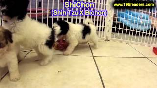Shichon, Puppies, For, Sale, In, Duluth, Minnesota, County, MN, Hennepin, Dakota, Washington, Stearn