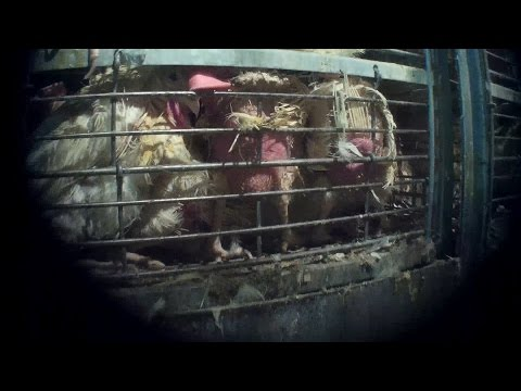 Spent Hen Slaughter Exposé: Birds Abused and Scalded Alive