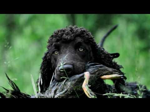 Порода собак. Ирландский водяной спаниель.Внешность его напоминает гладкомордого пуделя