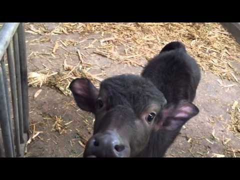 Baby American Water Buffalo • Double 8 (Buffalo Gelato)