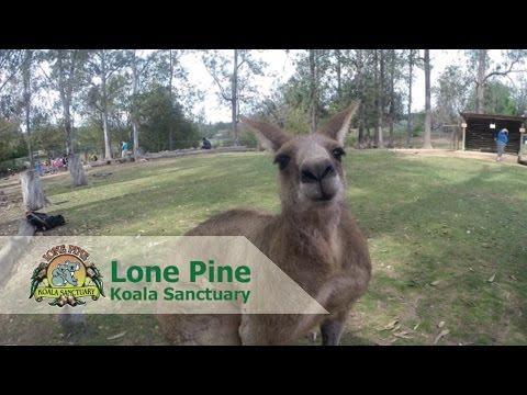 Vlog : Lone Pine Koala Sanctuary Brisbane, Australia