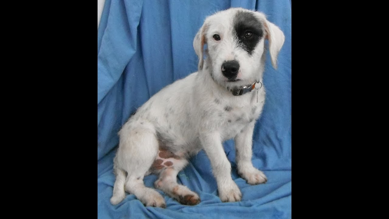 ADOPTED! Benji playing. A young male Wire haired fox terrier mix ...
