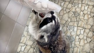 RACCOONS ' REACTION TO THE WORLD'S MOST EXPENSIVE NUTS / Zefirka has mastered the top shelves