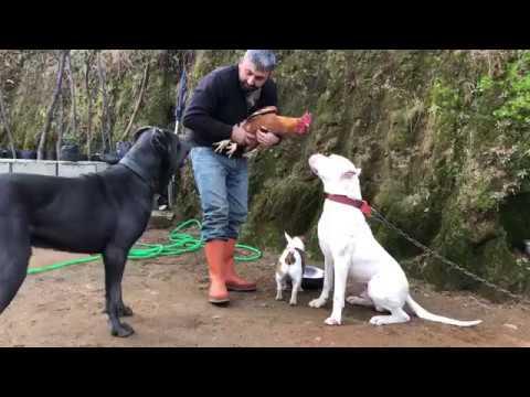 Köpeklerimi horozla barıştıramadım dogo arjantin cane corso jack russell