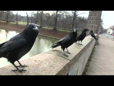 Sound of Crows