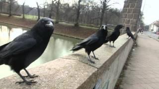 Sound of Crows thumbnail