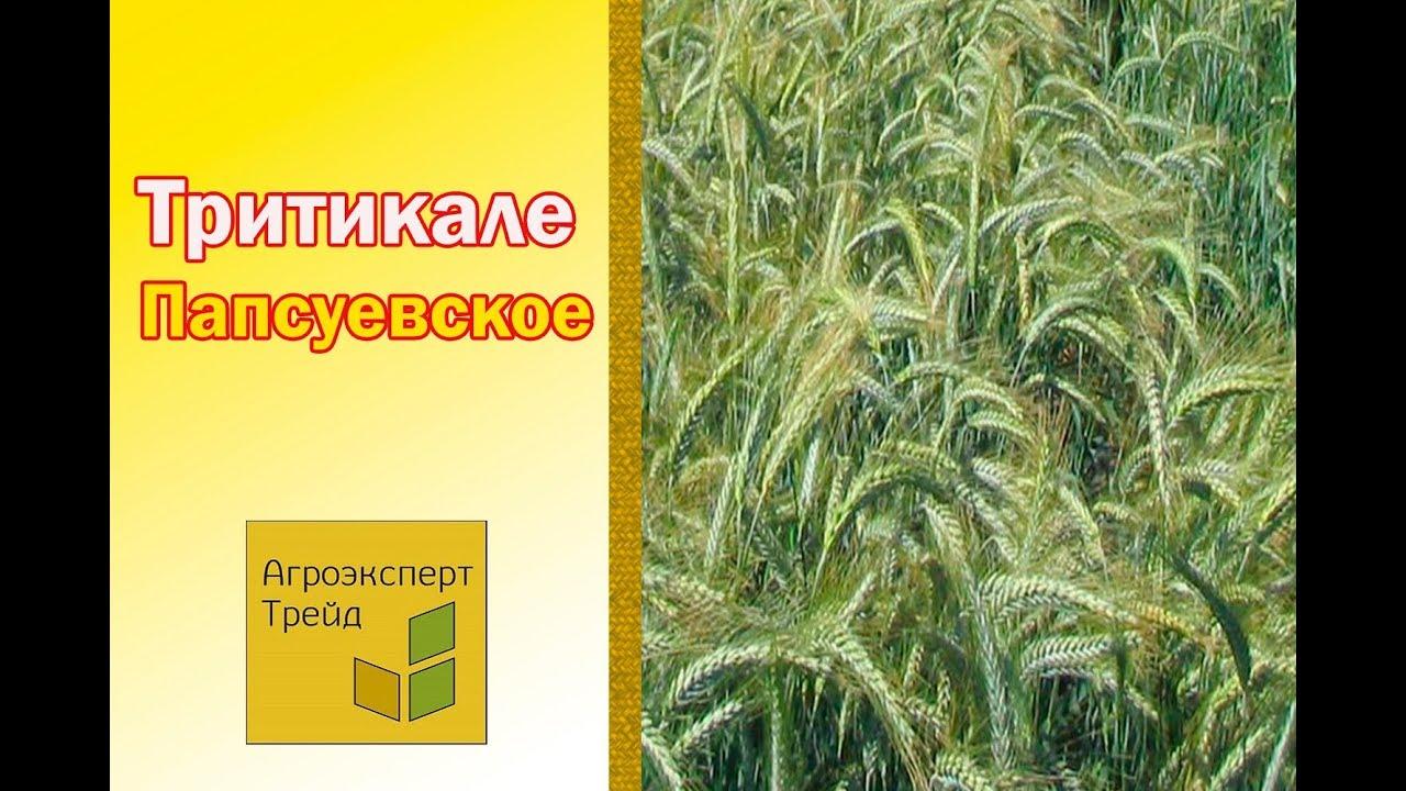 Купить семена пшеницы в украине. Честные цены. Бесплатная доставка аграрный интернет-магазин яблуком. Высокоурожайные сорта пшеницы.
