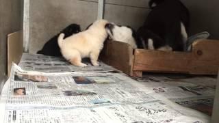 生後27日めの白柴.黒柴子犬です。ママがガジガジして遊んでくれていま...