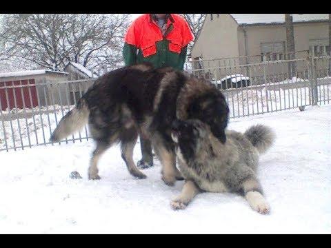 Sarplaninac  -   Caucasian Shepherd  Medo & Trumbo
