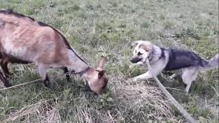 Собака ВЕО 1 год.  Почему на цепи? 😕.